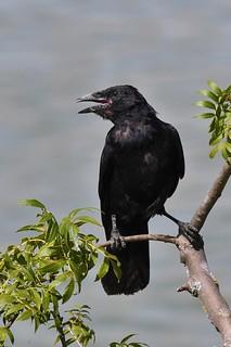 Corneille noire - Corvus corone - Carrion crow
