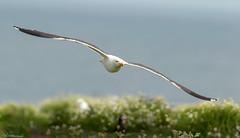 Black-backed Gull on patrol (Steve (Hooky) Waddingham) Tags: stevenwaddinghamphotography bird british sea summer wild wildlife gull flight coast nature