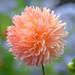 Dahlia closeup at Port Orchard Arboretum near Everett, Washington State
