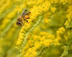 Honey bee with pollen basket! (Nina_Ali) Tags: august2018 flowers nature honeybeewithpollenbasket pollenbasket bee yellow corbicula