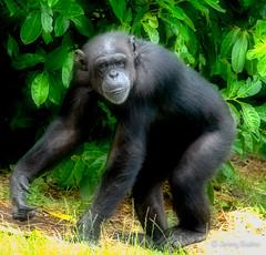 Well Groomed (JKmedia) Tags: chesterzoo primates animals captive 2018 sonyrx10iii chimp chimpanzee groomed