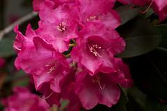 IMG_1934 (Lightcatcher66) Tags: rhododendron makros lightcatcher66