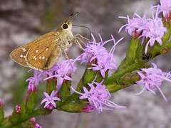 Dotted Skipper female (rstickney37) Tags: hesperiidae skipper northcarolinabutterflies hesperia hesperiaattalus dottedskipper