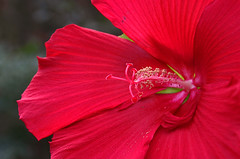 hibiscus 2018 (scott1346) Tags: flower hybiscus closeup macro colors red bold tan anthers garden hanx beauty scarlet thegalaxy 1001nights 1001nightsmagiccity scenicwalk