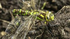 dragons breath (blackfox wildlife and nature imaging) Tags: mft bpw wales insects dragonflies closeups