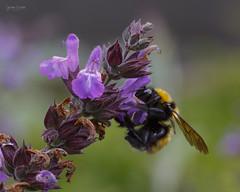 Día 344 (gedaesal) Tags: bumblebee flowers closeup colors canon700d sigma105mmf28macro gedaesalgmailcom