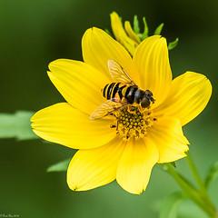 Transverse Flower Fly [Eristalis transversa] on Bidens (Fred Roe) Tags: nikond810 nikkorafs80400mmf4556ged nature wildlife insect fly transverseflowerfly eristalistransversa macro peacevalleypark