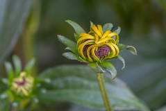 A Flower Dance (Pejasar) Tags: flower bloom blossom estespark colorado garden yellow curves graceful