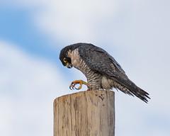Those Talons (dan.weisz) Tags: falcon peregrine peregrinefalcon raptor birdofprey tucson bird