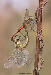 Sympetrum depressiusculum - Selys, 1841  - mating