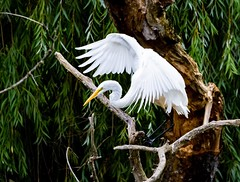 Great Egret showing its wings. (cncphotos) Tags: michigan whitebird egret outdoors nature sigma nikon bird greategret
