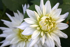 Dahlias (Paul den Ouden) Tags: dahlia flowers floral flora powellriver white
