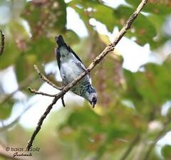 Azure-rumped Tanager (Isaias J. Soliz) Tags: birdsoftheworld neotropical lakeatitlan travel guatemalaexpedition voltanadventures tanager endemic