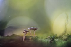 """Welcome To Sky Valley"" (Joe Effendi (Always Late!)) Tags: effendi fujix xt10 hokushin50mmf12 projectorlens projectionlens fungi mushroom paddestoel nature natuur florafauna outdoor macro closeup depthoffield dof bokeh september 2018"