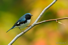 Black-throated Blue Warbler (Earl Reinink) Tags: fall color woods outside outdoors nature wildlife bird animal warbler blackthroatedbluewarbler earlreinink uuoadaedza