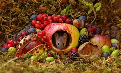 Autumn mouse with fruits and berries (10) (Simon Dell Photography) Tags: autumn mouse wildlife wild garden animal cute seasonal fall fruits berries berrys pile wood logs moss high detail res conker uk england nature rodent eyes display scene winter
