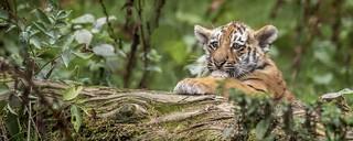 Amur Tiger Cub - Whipsnade-1