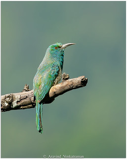 Blue-beared Bee Eater