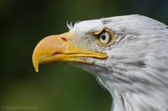 danebury (sure2talk) Tags: danebury baldeagle eagle portrait profile closeup hawkconservancy nikond7000 nikkor70300mmf4556afsifedvr