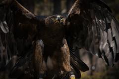 Golden Eagle (Jon David Nelson) Tags: aquilachrysaetos goldeneagle highdesert raptors birdsofprey centraloregon bendoregon