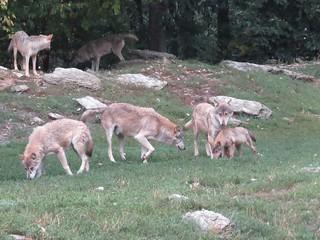 Wolfsrudel Wildpark Bad Mergentheim