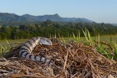 Blue-tongued Skink (Tiliqua scincoides) (shaneblackfnq) Tags: bluetongued skink tiliqua scincoides shaneblack lizard reptile blue tongue eastern julatten fnq far north queensland australia tropics tropical