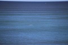 IMG_3577 (gervo1865_2 - LJ Gervasoni) Tags: surfing with whales lady bay warrnambool victoria 2017 ocean sea water waves coast coastal marine wildlife sealife blue photographerljgervasoni