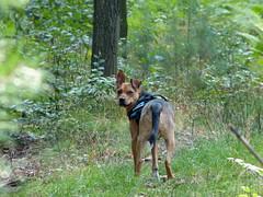 Na, komm endlich :-) (isajachevalier) Tags: hund dog tier haustier mischling landschaft wald natur panasonicdmcfz150