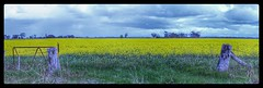 Green Lake Canola Crop (florahaggis) Tags: greenlake horsham victoria australia wimmera crop canola flowers rapeseed oilseed agriculture farming spring canon6dmkii