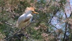 Héron garde-bœufs (fauneetnature) Tags: westerncattleegret egret heron héron hérongardeboeufs ornithologie oiseau bird animalier animal camargue faune nature naturephotography photoanimalière photonature