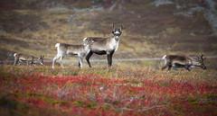 autumn in Finnmark (ela dzimitko) Tags: norwegia norway finnmark finnmarka autumn brown colours red reindeer wildlife animal herd antlers renifer eladzimitko stunningoutdoors alta canon5dmk4 canon70300l nature