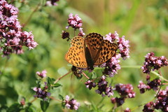 Kaisermantel (Argynnis paphia) (pappleany) Tags: tagfalter schmetterling falter sommer natur insekt butterfly pappleany