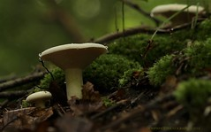 mushroom and moss (don.white55 That's wild...) Tags: mushroom moss canoneos70d canon55250mm forest forestfloor leaves pennsylvania uniontownship