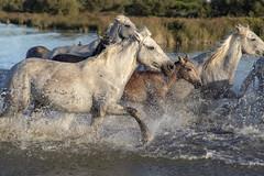 Chevauchée (Xtian du Gard) Tags: xtiandugard chevaux camargue nature horse poulain chevauchée cavalcade course eau water provence