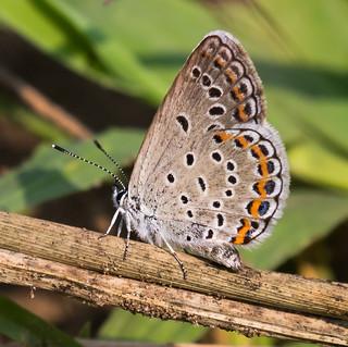 Karner Melissa Blue Butterfly