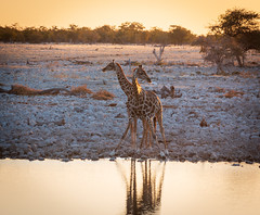 Two headed giraffe (Martin de Lusenet) Tags: africa namibië 2018 juli giraffe giraf two headed heads