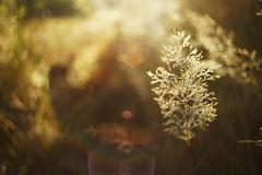 Pijpestrootje. (look to see) Tags: pijpestrootje gras grasses bokeh flare sintmaartensheide beek bree belgium vintagelens licht light morninglight ochtendlicht 2018