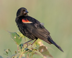 Red Winged Blackbird posing (tresed47) Tags: 2018 201807jul 20180727bombayhookbirds birds blackbird bombayhook canon7dmkii content delaware folder july peterscamera petersphotos places redwingblackbird season summer takenby us