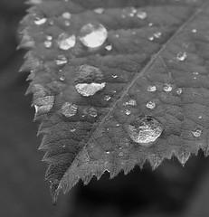 Raindrops on Leaf-Tip - B&W (Gilli8888) Tags: nikon p900 coolpix nature countryside druridge druridgeponds wetlands northumberland blackandwhite leaf raindrops water flora liquid rain