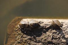 Ouachita and False Map Turtles - Cottonwood Falls, Kansas (BeerAndLoathing) Tags: river water summer 2017 roadtrip reptiles kansas 77d turtle colorado trip wildlife canon eclipsetrip august usa canoneos77d