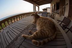 IMG_7333 Rubio, Mallorca (Fernando Sa Rapita) Tags: canon eos6d mallorca rubio sarapita samyang samyang12mm animal cat fisheye gatito gato kitten mascota ojodepez pet canoneos