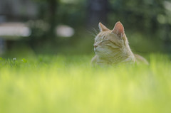 Her Happy Place (amy20079) Tags: cat grass chilling relaxing meditation rest nikond5100 summer maine newengland lawn