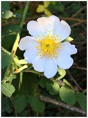 Field-Rose (Julie (thanks for 9 million views)) Tags: rosaarvensis fieldrose 100flowers2018 iphonese tinternwoods wexford ireland irish flora wildflower white petal stamen yellow texture