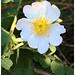 Field-Rose