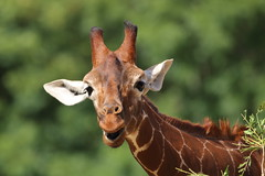 Long of neck but with a big smile! (charliejb) Tags: giraffe wildplace bristol 2018