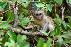 DSC_7337 (supersky77) Tags: baby uganda africa botanical garden entebbe vervet monkey