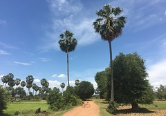 Cambodia, Kampong Speu Province, Samraong Tong District, Samraong Tong Commune (Die Welt, wie ich sie vorfand) Tags: bicycle cycling surly crosscheck sugarpalm kingdomofcambodia cambodia kampongspeuprovince kampongspeu កម្ពុជា ខេត្តកំពង់ស្