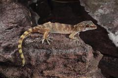 Giant Cave Gecko (Pseudothecadactylus lindneri) (Jordan Mulder) Tags: giant cave gecko wildlife reptile lizard arnhem escarpment pseudothecadactylus lindneritopend