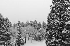 Powder Day (OzGFK) Tags: akakuraonsen asia honshu japan myokokogen blackandwhite cameraphone firtrees iphone6 monochrome snow travel trees winter myōkōshi niigataken jp