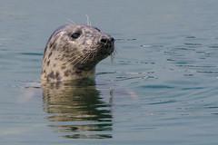 Grey Seal (Tim Melling) Tags: halichoerus grypus atlantic grey seal northumberland timmelling